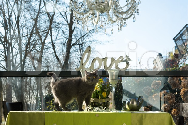 Beautiful British shorthair cat standing on the dining table within stylish interior of an apartment richly decorated