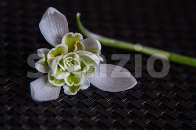 Snowdrop galanthus nivalis Stock Photo