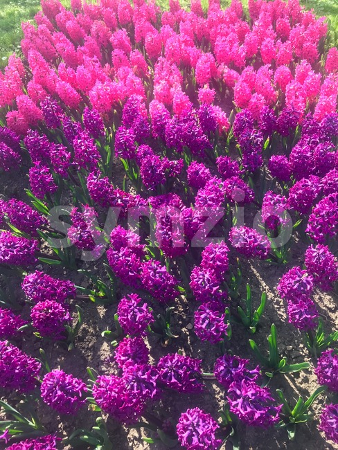 Colorful purple, pink and lilac hyacinth flowers blossom in spring garden