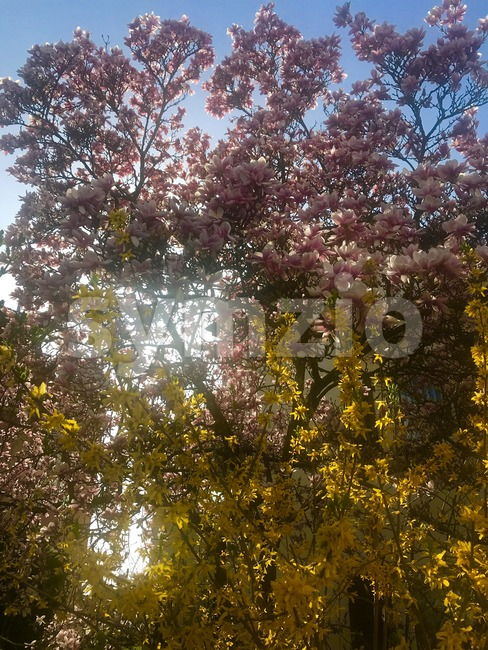 Pink magnolia and yellow forsythia blossom in bright early spring sun