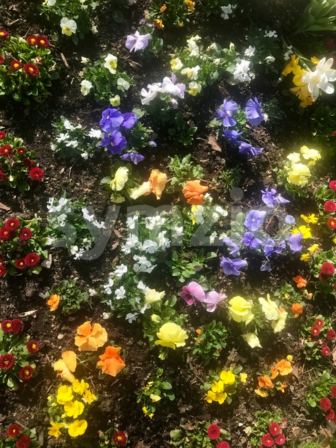 Blossoming spring flowers on a flowerbed in bright sunlight