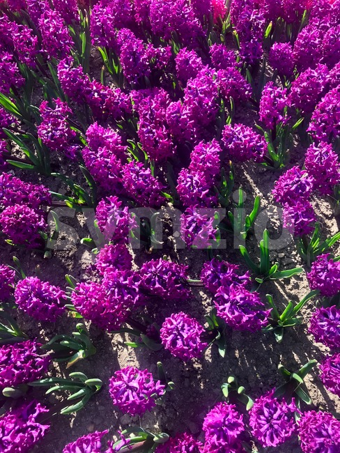 Colorful purple hyacinth flowers blossom in spring garden