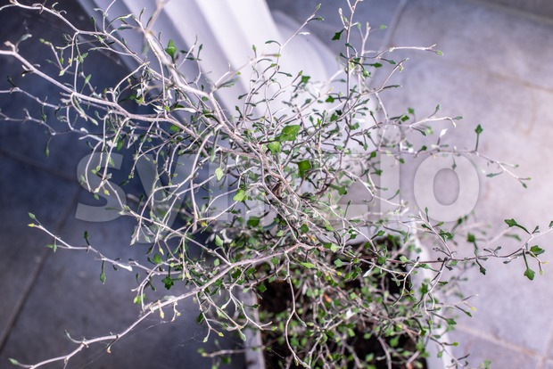 Zigzag plant/Corokia cotoniaster plant Stock Photo