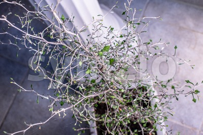 Zigzag plant/Corokia cotoniaster plant Stock Photo