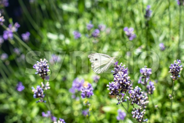 Cabbage butterfly drinking from lavender on a sunny summer day