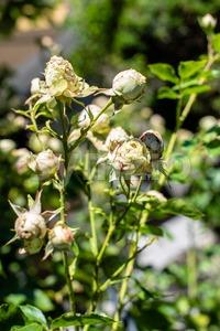 beautiful green roses Stock Photo