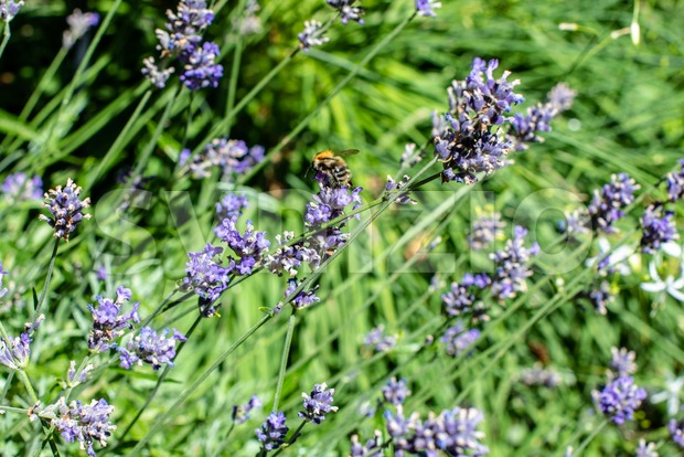 Bee gathering on lavender bloom Stock Photo