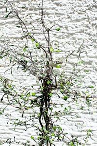 Zigzag plant/Corokia cotoniaster Stock Photo