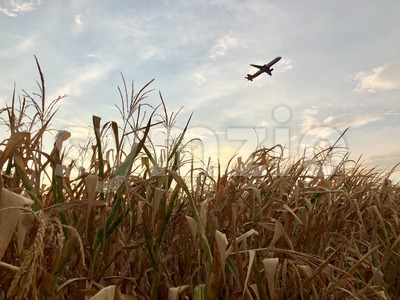 Airplane departing over dry cornfield Stock Photo