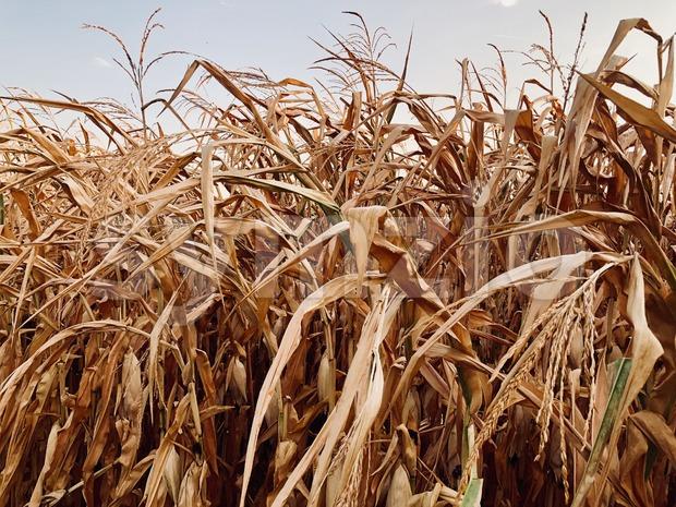 Dry cornfield in autumn during sundown