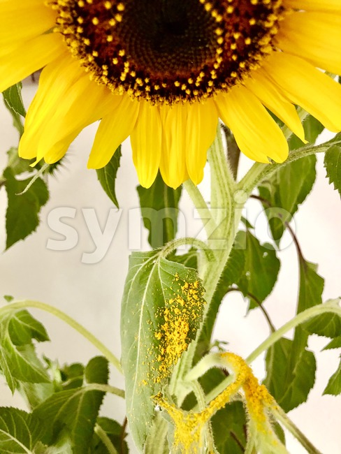 sunflower losing its pollen Stock Photo