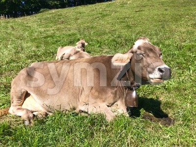 Swiss Brown milk cows in a pasture on Pfaender Mountain Stock Photo