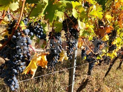 ipe purple grapes on a vine in autumn Stock Photo