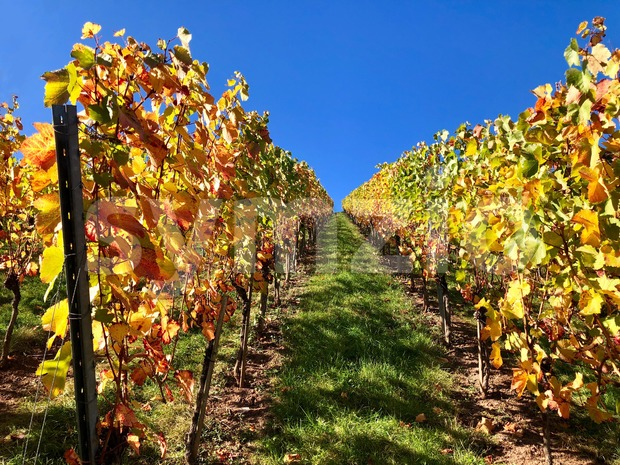 vineyard on a sunny autumn day Stock Photo