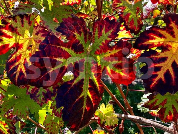 colorful vine leaves in autumn Stock Photo