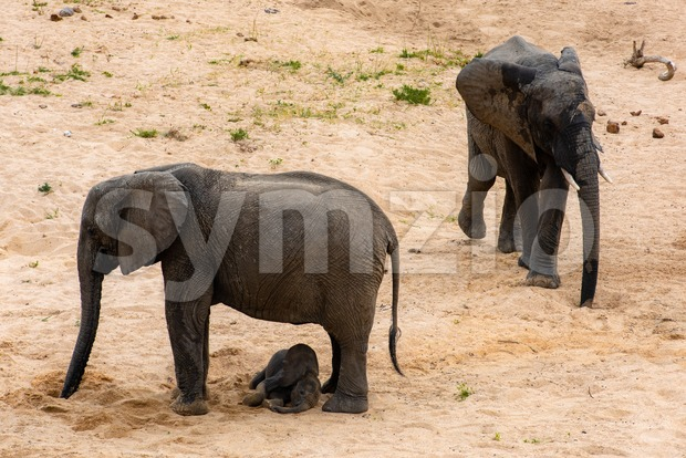 Elephants family with cute baby elephant on South African savanna