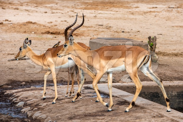 Red Billed Ox pecker sitting on the back on an Impala Stock Photo