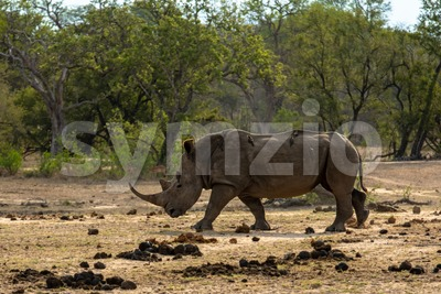 White rhino on the savannah Stock Photo