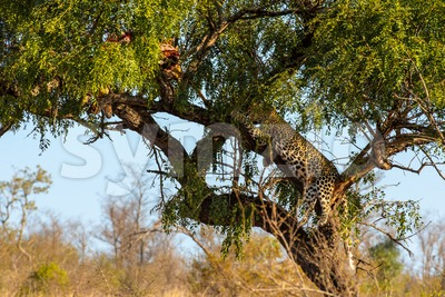 Leopard in tree resting next to the remains of his kill Stock Photo