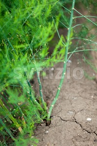 Blossoming Asparagus Field Stock Photo