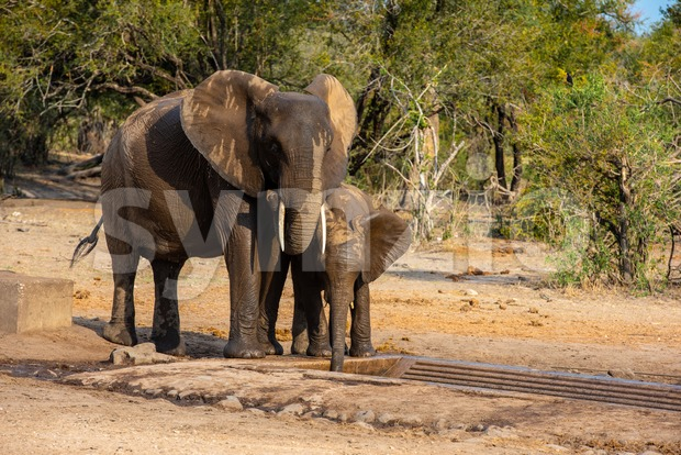 Elephants family with cute baby elephant wetting themselves at a waterhole in the South African savanna