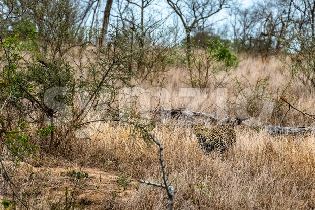 Camouflaged leopard sneaking through the grass of a South African savannah