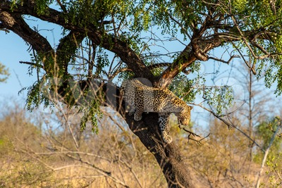 Leopard leaving his tree Stock Photo