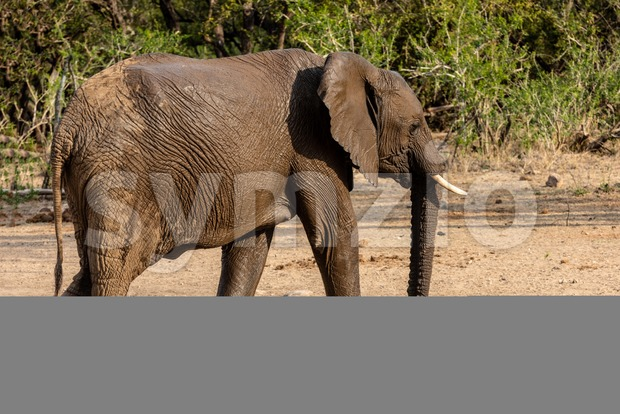 Elephant marching through the savannah Stock Photo