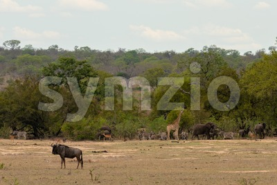 A huge herd of zebra on the savannah of the Serengeti National Park in Tanzania. Stock Photo