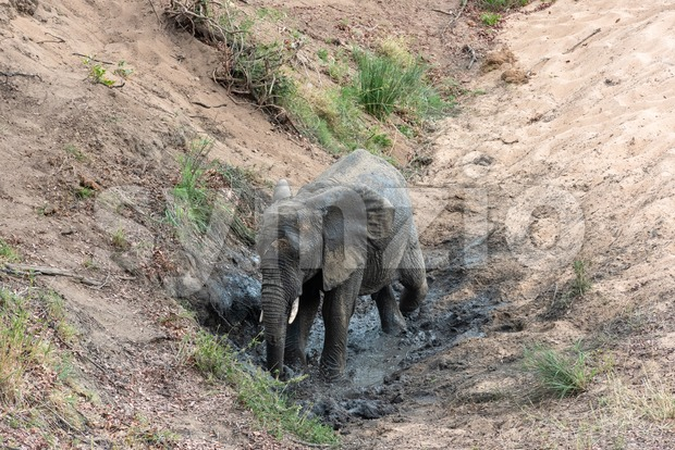 Elephant having a cool mud bath Stock Photo
