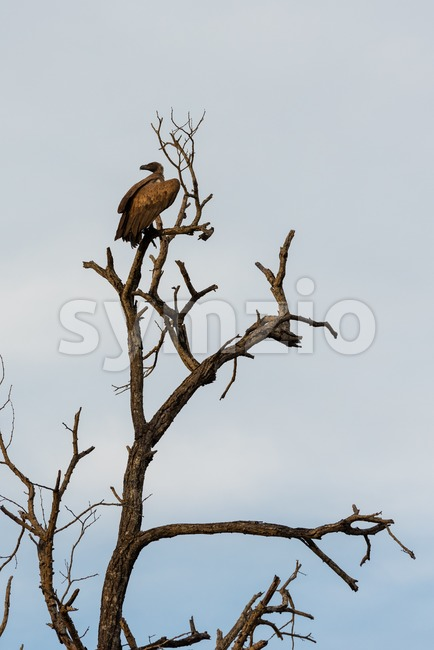 Cinereous vulture or black vulture Stock Photo