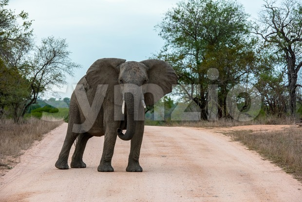 Single African elephant bull walking in a road , forcing the safari cars to stop in the savannah of South ...