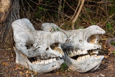 Two massive rhino skulls Stock Photo