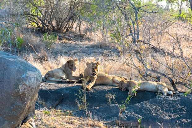 African lion herd resting after eating their kill Stock Photo