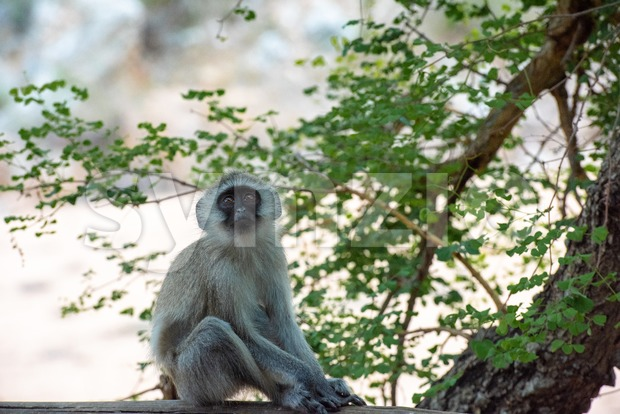 A young and curious African Vervet Monkey Stock Photo