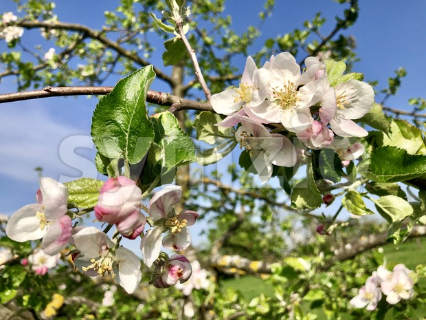 Blossom apple over nature background on a sunny spring day