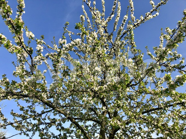 Blossoming apple tree Stock Photo
