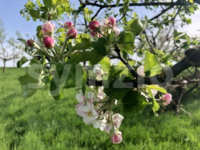 Blossoming apple tree over nature background Stock Photo