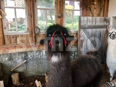 Llamas in their shed Stock Photo