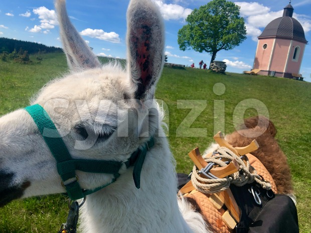 A Llama, a domesticated South American camelid from the Andes mountains, is used as a pack animal during a tour ...