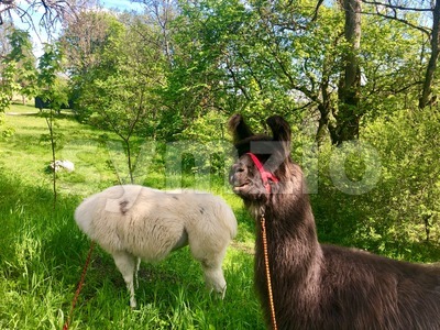 Llamas grazing in summer Stock Photo