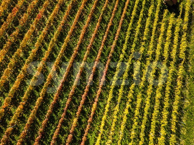 Rows of wine in autumn - vineyards in fall colors near Stuttgart, Germany