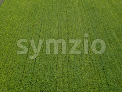 Drone flight over a field of rapeseed Stock Photo