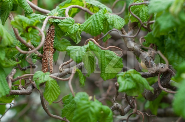 Corkscrew hazel Stock Photo