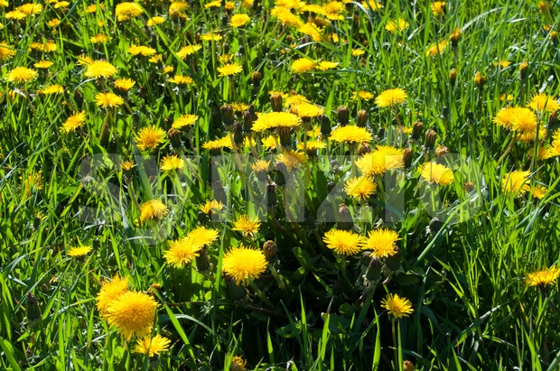 Meadow full of  yellow dandelions in spring sunlight