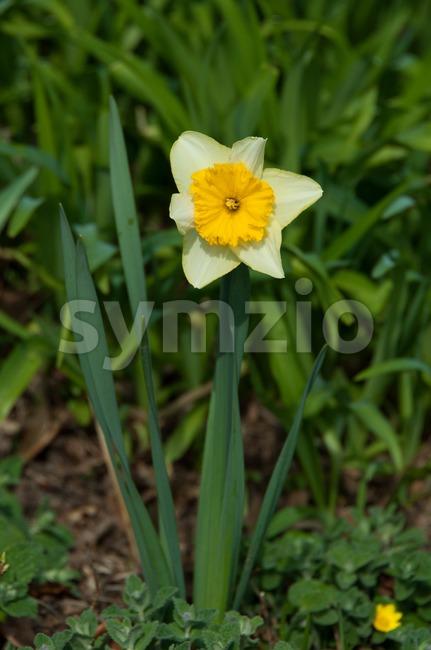 Bright daffodils Stock Photo