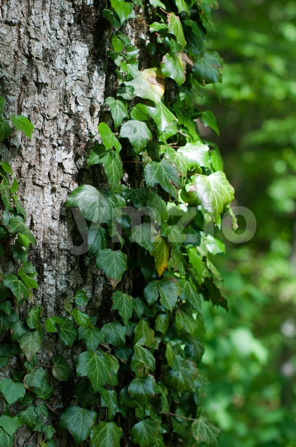 Tree trunk with ivy Stock Photo
