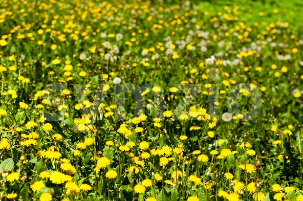 A field of blooming and seeding dandelions in early May