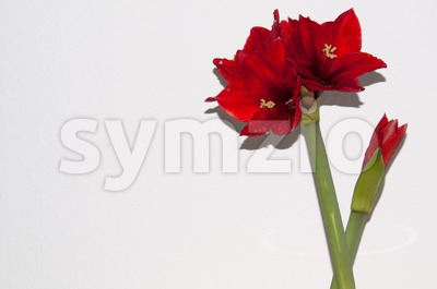 Red amaryllis greeting card Stock Photo