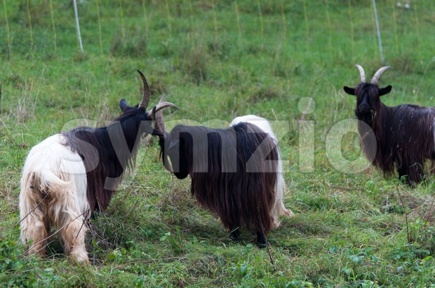 Valais Blackneck Goats fighting on a summer pasture